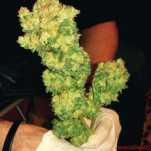 Sour Diesel - Click Image to Close