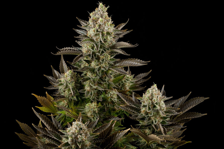White Widow - Click Image to Close